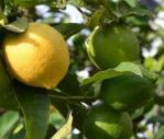citruscilantro